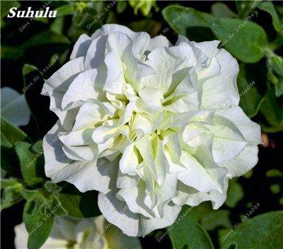 De nouvelles graines fraîches 200 Pcs Petunia Graines, intérieur Graines Bonsai Fleur, Pétunia Graines de fleurs Mix Pétunia Hybrida Jardin Plante en pot 15