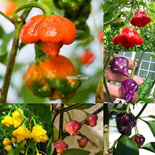Portal Cool Bosque Blue Bumblebeetomato-Samen!Wir verkaufen 7 Arten von Hummel-Tomaten!