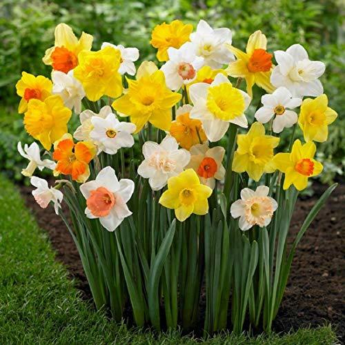 50 Großblumige gemischte Narzissen Blumenzwiebeln höchste Keimrate