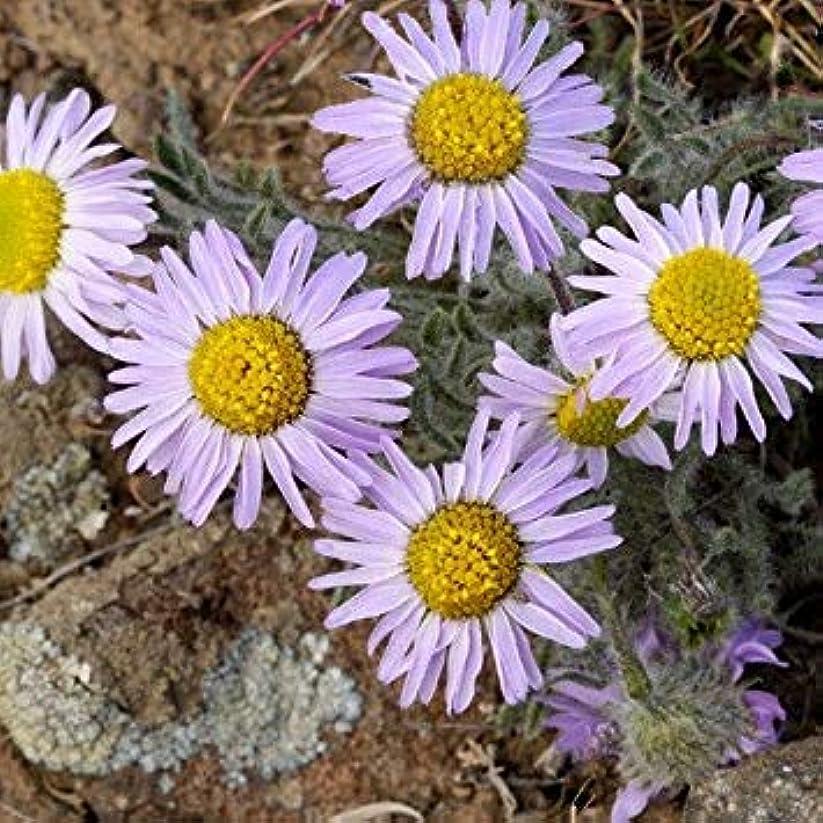 オリエンタル解読するエスカレート- Erigeron Poliospermus種子