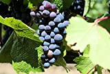 Baco Noir Wine Grape Vine - Plantable Year-Round