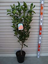 【柑橘苗木】 不知火(デコポン) 2年生 接木苗 6号ポット 【ガーデンストーリーの果樹苗木】