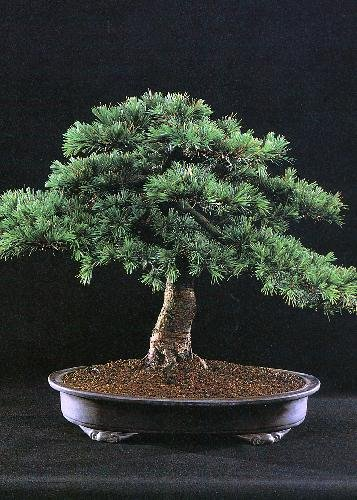 Tropica - Bonsai - Libanon Zeder (Cedrus libani) - 20 Samen