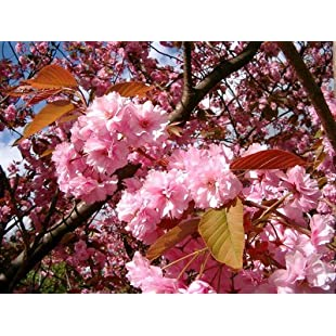Japanese Flowering Cherry / Prunus 'Kanzan' in a 5L Pot, Large Double Deep Pink Flowers 3fatpigs®