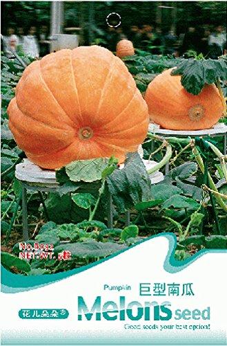 Raras Vegetable Seeds Atlantique géant de citrouille, emballage original, 5 graines/paquet, de l'héritage, graines végétales comestibles # B032