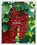 Zoomy Far 5: Nueva arrl de Semillas de Frutos Rojos Pan-Goose Semillas de Frutas Linterna Semillas de Semillas da Fruta - 100 Semilla/Paquete!