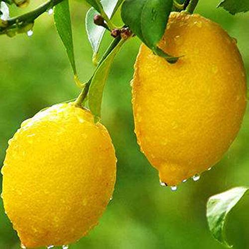 20 Seeds of Meyer Lemon Tree Seeds Rare Fruit Seeds Home Garden Plant DIY Bonsai…