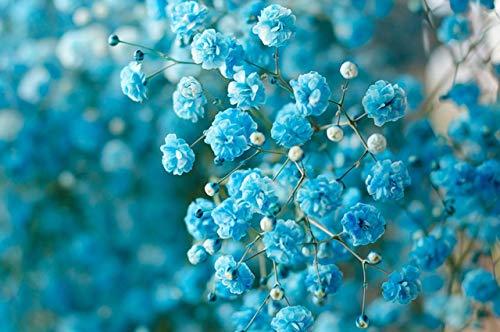 Yukio Samenhaus - 50 Stück Schleierkraut Stauden Bodendecker Gypsophila Paniculata Blumensamen winterhart mehrjährig, Schneeflocke geeignet für Balkon, Garten, Topf, Terassen