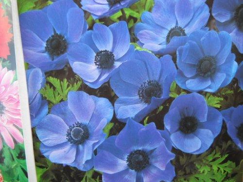 10 BLUE ANEMONE MR FOKKER CORMS BULBS FOR BORDER PATIO ROCKERY GARDEN PERENNIAL PLANT