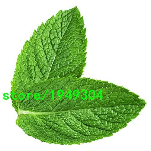 Graines aromatiques de plantes Citron Menthe poivrée Graines de qualité supérieure pour Tisane 200 pièces, Green, As Show in Description