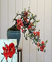 Chaenomeles Japonica Flowering Quince Bonsai Tree seeds Amazing Rare