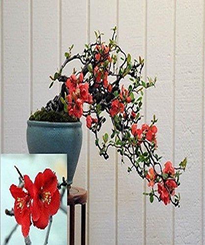 Chaenomeles Japonica Flowering Quince Bonsai Tree seeds Amazing Rare