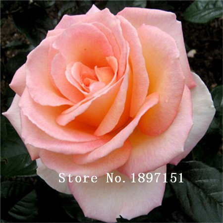 Big graines vente de fleurs Bonsai 100 Pcs Rare Étonnamment Belle bordure rouge, rose noire graines Maison & Jardin