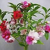Gyratedream 100 PCS Bonsaï Impatiens Graines De Fleurs Double Flore Plantas Intérieur en Plein Air en Pot Plante pour La Maison Jardin Pot Plantes Décoration de La Maison