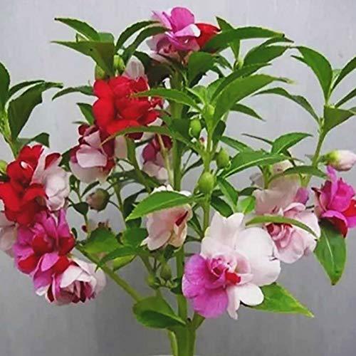 100 STÜCKE Impatiens Blumensamen Doppelpflanze Indoor Outdoor Topfpflanze für Home Office Garten Bonsai Topf Einfache Pflanze