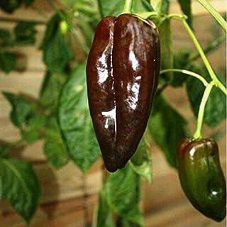 30 Seeds of Mulato Isleno Pepper / Capsicum annuum