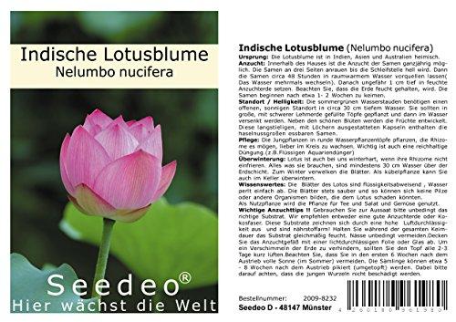 Seedeo Indische Lotusblume (Nelumbo nucifera) 8 Samen