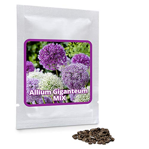 Magic of Nature Riesen Zierlauch - 60 Samen je Pack - Riesenlauch - Winterharte Zierpflanze für Deinen Garten - Violette und weiße Blütenfarbe gemischt - Allium giganteum - mehrjährig