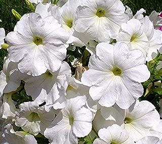 20 White Wave Petunia Seeds Perennial Heirloom Garden Flower