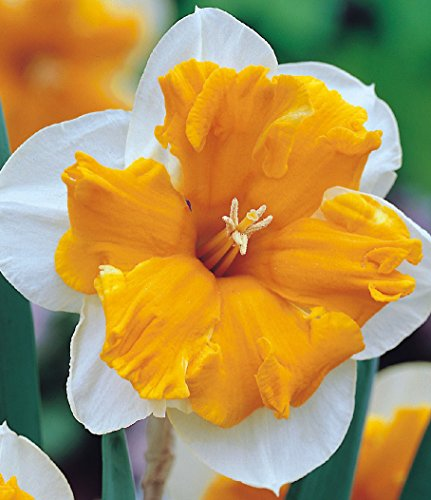 Narciso Orangery - Narciso Orangery - 5 bulbos