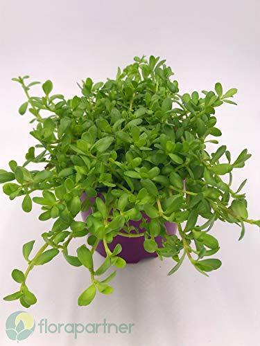 Brahmi Pflanze die Gedächnisstütze Bacopa monnieri Kräuter Pfanze 1stk.