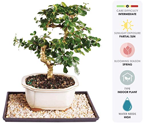 Brussel's Live Fukien Tea Indoor Bonsai Tree - 7 Years Old; 8' to 12' Tall with Decorative Container, Humidity Tray & Deco Rock