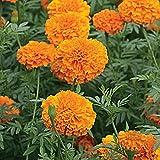 Marigold African Mona orange 100 Seeds - Tagetes Erecta