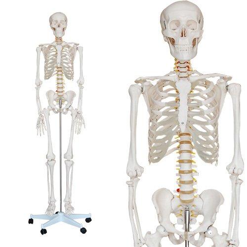 Skelett Modell Lebensgroß