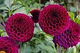 Dahlie Pompone 15 Samen Dopple Gemischte