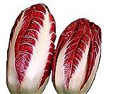 100 Radicchio Rossa Di Treviso Precoce Seeds No GMOs Heirloon Gourmet