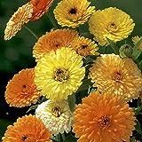 Pot Marigold - Calendula Officinalis - Gitana Dwarf Mix - 60 seeds