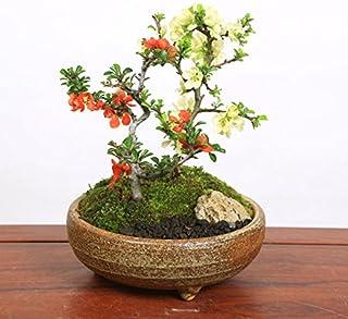 小品盆栽:紅白長寿梅寄せ植え(信楽焼小鉢)*