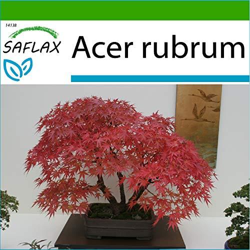 SAFLAX - Arce rojo - 20 semillas - Con sustrato estéril para cultivo - Acer rubrum