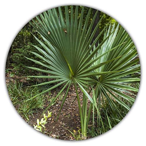 Washingtonia robusta/Mexikanische Washingtonpalme/Fächerpalme / 20 Samen