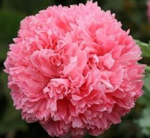 Pink Peony papavero'Papaver paeoniflorum' 100 semi