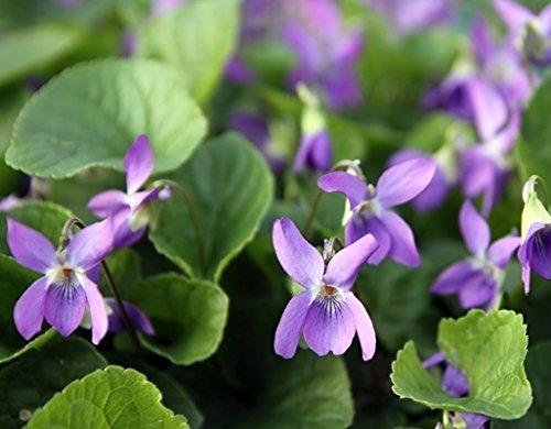 Sweet Violet, English Violet Graines - Viola Odorata