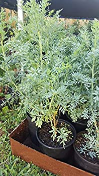 Plant Ruda Plant Common Rue Ruta graveolens Herb of Grace 12 to 18 inches Tall