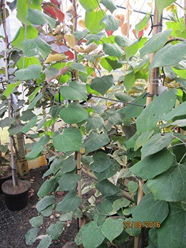 Cercis canadensis Lavender Twist - Kanadischer Judasbaum Lavender Twist