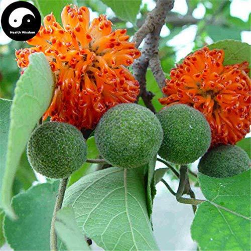 PLAT FIRM KEIM SEEDS: 30pcs: Kaufen Papiermaulbeerbaum Seeds Pflanze Broussonetia Papyrifera Für Gou Shu