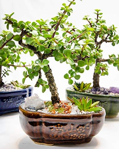 Creations by Nathalie Live Dwarf Jade Plant Mini Bonsai Tree with Ceramic Base Succulents Decorative Rocks & Healing Crystals Florida-Grown Jade Bonsai Tree Indoor Decor (Brown)