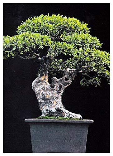 TROPICA - Orme de Chine (Ulmus chinensis) - 30 graines- Bonsai