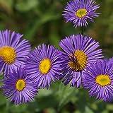 Blumixx Stauden Erigeron Hybride 'Dunkelste Aller' - Feinstrahlaster, im 0,5 Liter Topf, violettblau blühend