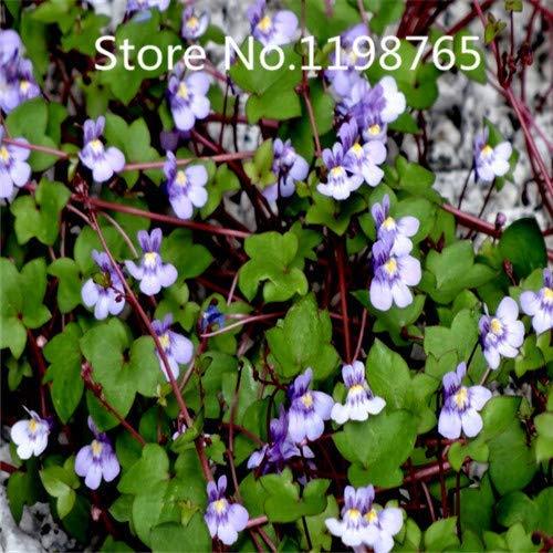 Negro: ¡Promoción de precio especial!100 semillas de sapo de lino 10 tipos de empaque mixto, semillas de flores de alta germinación jardín bricolaje flor perenne P
