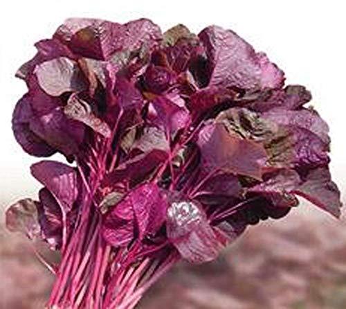 Graines d'Amarante Rouge 2g Environ 3000+ Légumes Biologiques Graines de Feuilles Multicolores de Bourgogne Facile et Rapide à Cultiver pour Bonsaï Jardin de Maison Jardin Extérieur