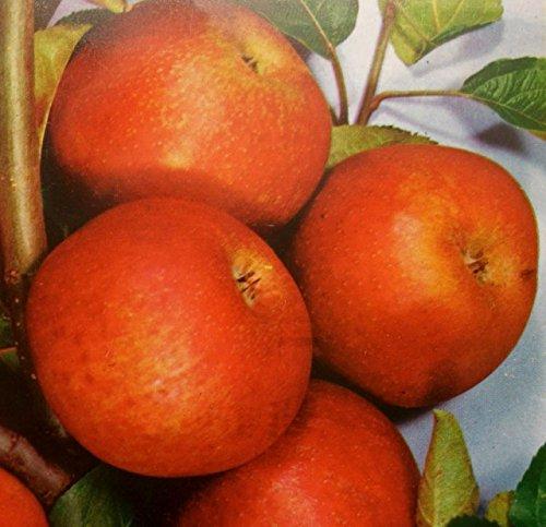 Apfelbaum Rote Sternrenette Apfel Rote Sternrenette - Malus Rote Sternrenette Containerware 120-160 cm hoch,