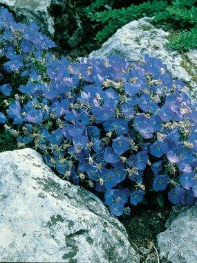 CAMPANULA - Carpatica Blau-Clips - 25 Staudensamen-Bodendecker