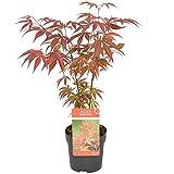 Erable du Japon | Acer palm. Atropurpureum par unité - Plante d'extérieur en pot de culture ⌀10.5 cm - 30-35 cm