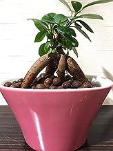 ガジュマル ハイドロカルチャー 観葉植物 インテリア 多幸の木 がじゅまる ガジュマルの木 北欧 おしゃれ ポップカラーポット ピンク