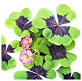 Oxalis Iron Cross Shamrock Bulbs Good Luck Plant - Fast Growing Year Round Color Indoors o...