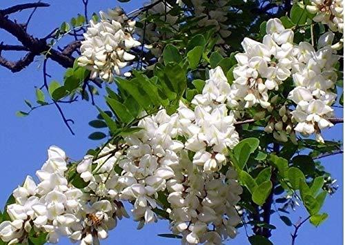 HONIC 200 Samen Robinie Tree Robinia pseudoacacia